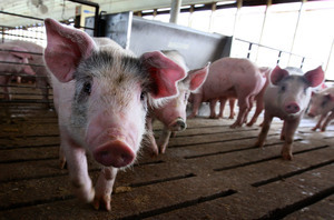 內蒙古再現非洲豬瘟 官方首曝疫情擴散方式