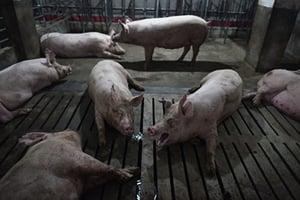 非洲豬瘟繼續蔓延 中共官員承認疫情難控