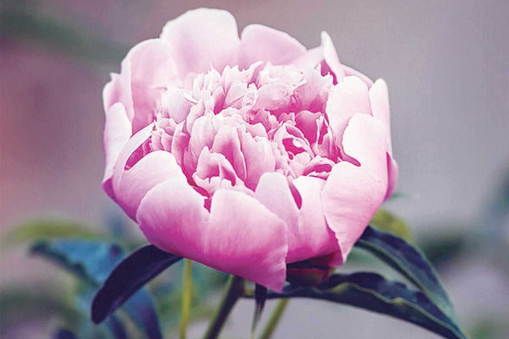 """""""紅樓夢""""中薛寶釵代表花是牡丹,服用的冷香丸,配方之一是牡丹花蕊。(的Fotolia)"""