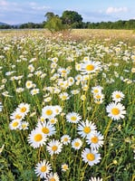 心靈陽光 : 故園的雛菊