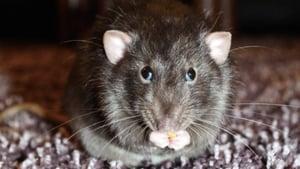 本港再現鼠傳人戊型肝炎 專家恐有疫症爆發