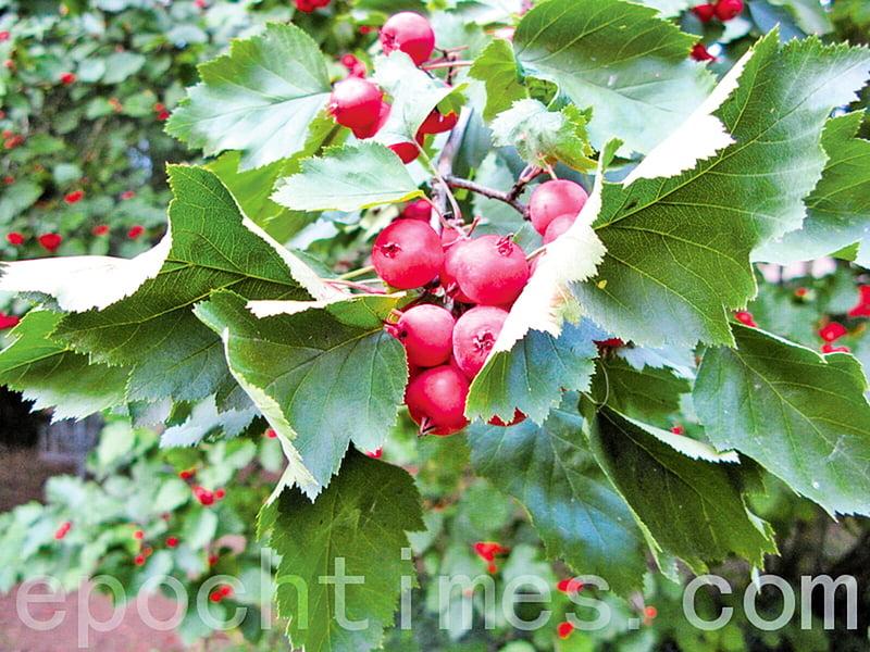 最愛秋天山裏紅