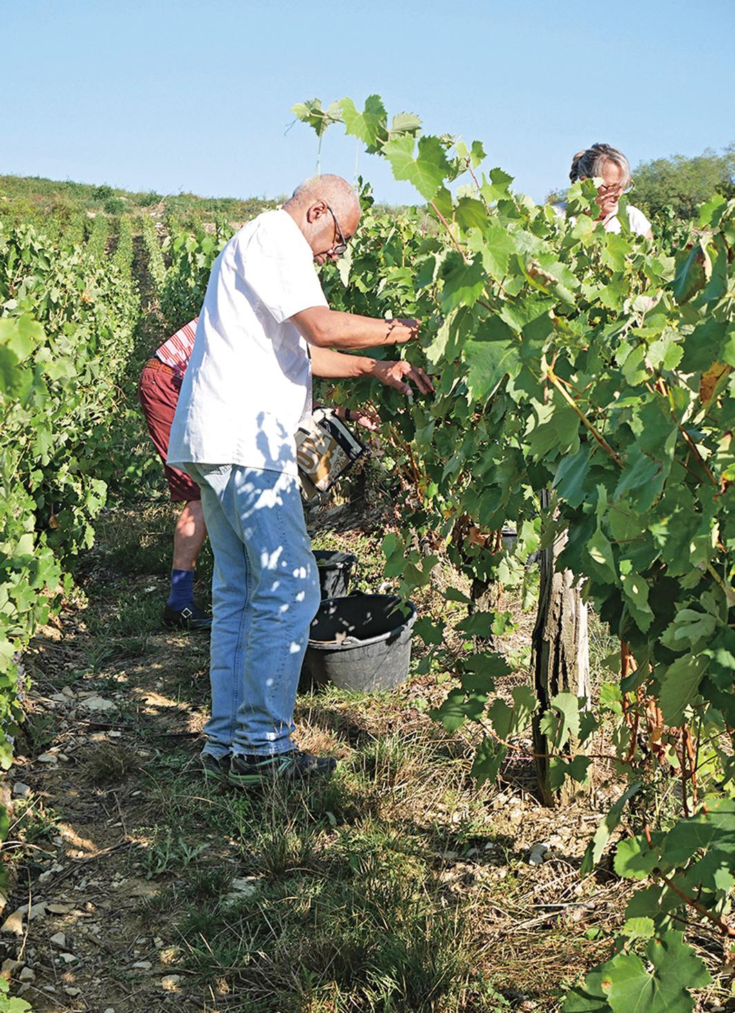葡萄園裏,人們正在人工採摘葡萄。