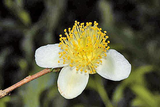 茶樹的花蕾從九月裏陸續開花(來源:莊溪《認識植物》網站/莊溪提供)