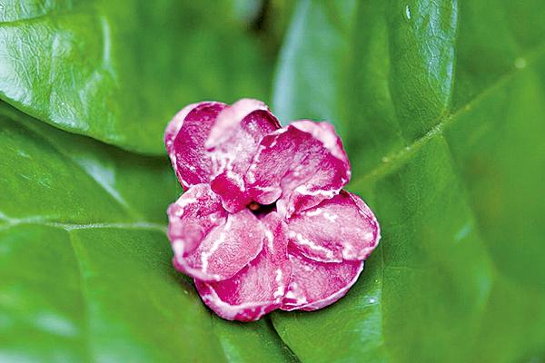 紫茉莉一名喚作「胭脂花」(莊溪認識植物網站/創用cc 2.5)