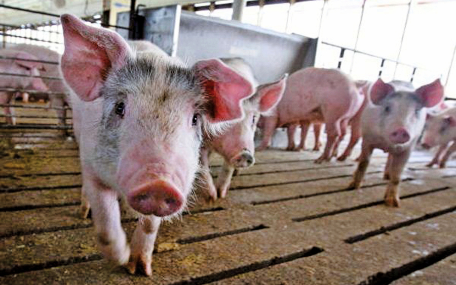 非洲豬瘟蔓延 珠海後廣州宣告淪陷