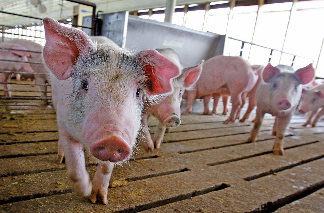 非洲豬瘟在中國大陸已造成23個省市自治區淪陷,資料照。(中央社)