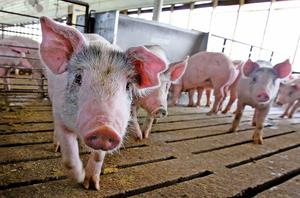大陸官方首次確認 豬飼料含非洲豬瘟病毒