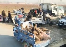 山西再現非洲豬瘟 「死豬市場」影片曝光