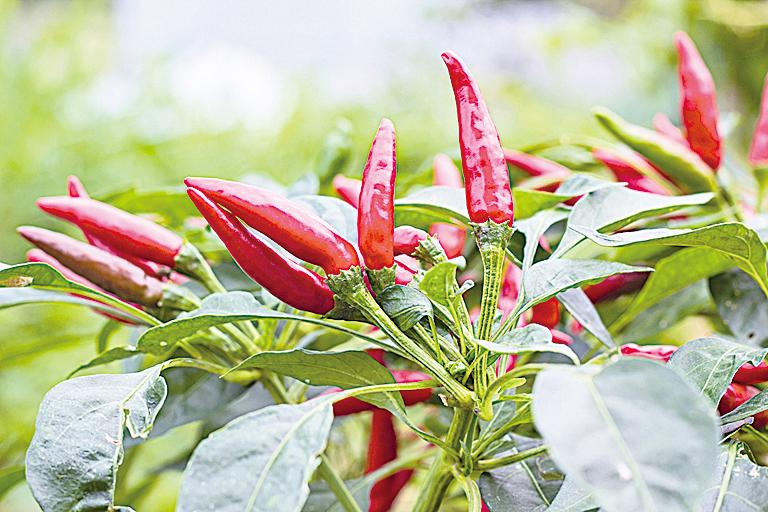 辣椒含有辣椒素(Capsaicin),適度攝取對人體有益。