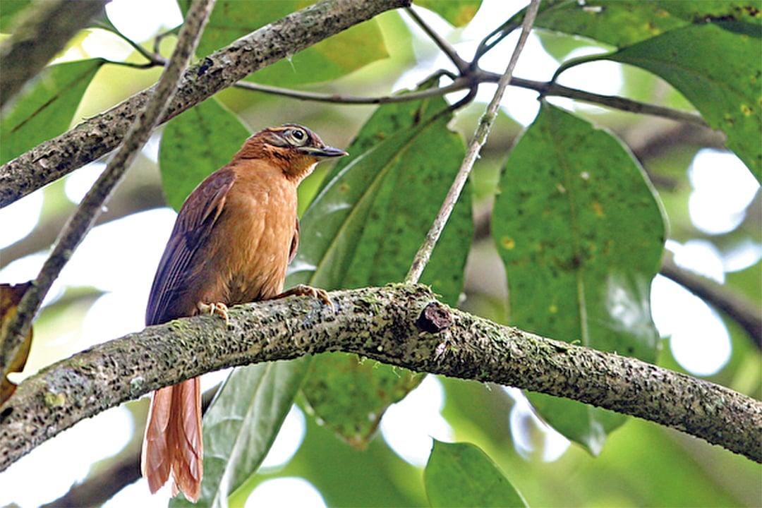 2018年滅絕的鳥類之一:諾氏拾葉雀(Alagoas Foliage-gleaner)(學名:Philydornovaesi)。(RESOURCE:Wiki Aves)