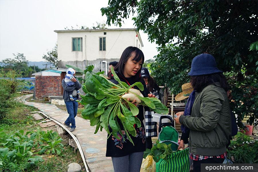 遊人在田裏採摘英姐家種植的蘿蔔,新鮮蔬菜現摘現買。(陳仲明/大紀元)