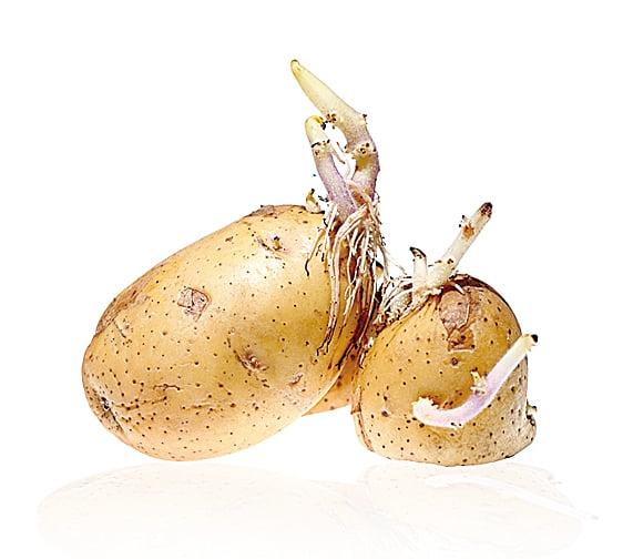 發芽的薯仔含有毒素,即使把發芽的部份挖掉,毒素仍然存在。
