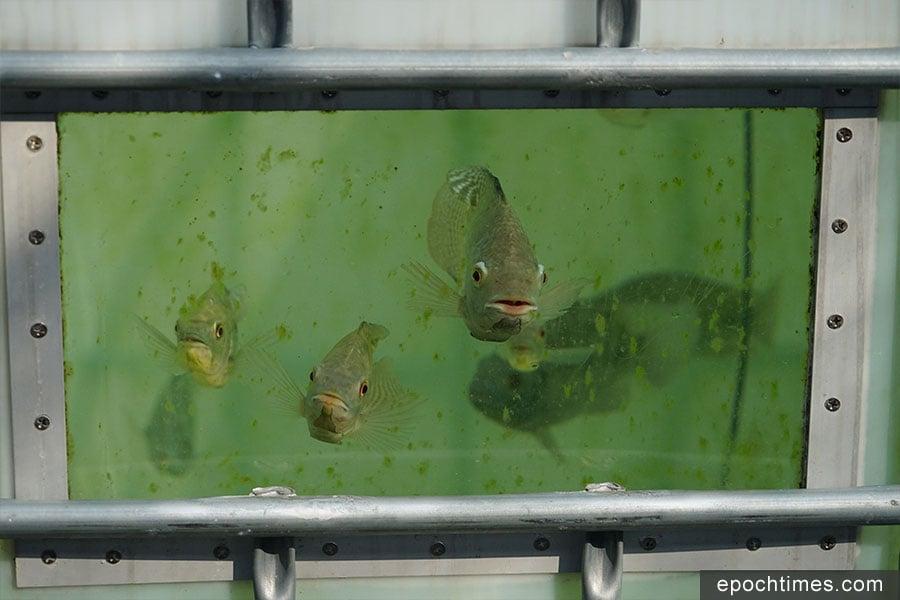 魚菜共生系統中的魚。(陳仲明/大紀元)
