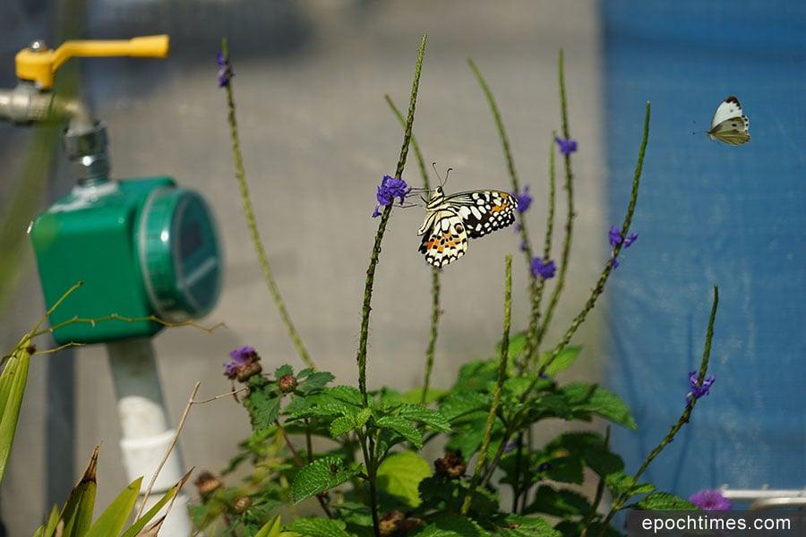 在蝴蝶園中翩翩起舞的蝴蝶。(陳仲明/大紀元)