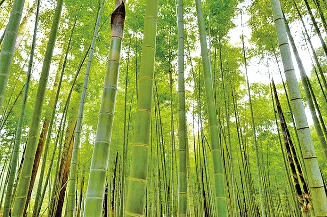天性使然,我就像一根竹子,直,不會拐彎抹角,……(示意圖)(圖片:pixabay)