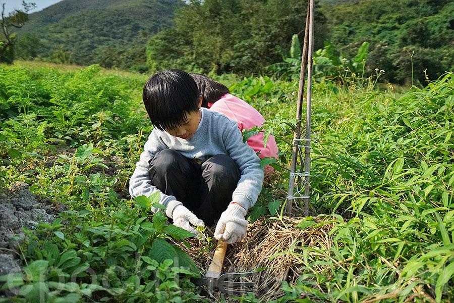 小朋友為農田除去雜草。(曾蓮/大紀元)