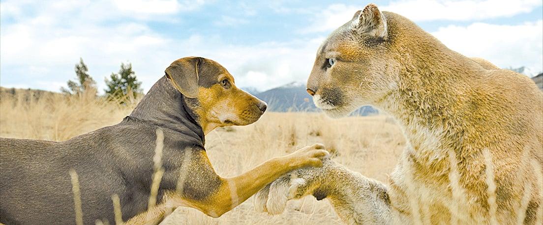 貝拉回家冒險之旅,遇到剛痛失母親的幼獅。牠發揮母性本能,成了這隻美洲獅的養母。
