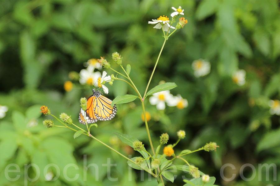 沙螺灣是不少蝴蝶棲息的地方。(陳仲明/大紀元)