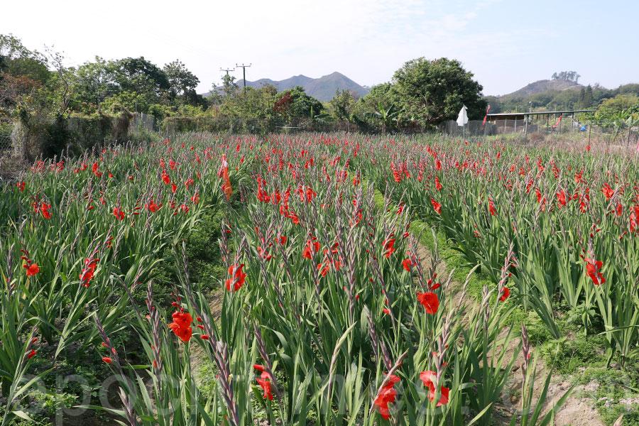 元朗花農梁日信種植的紅色劍蘭,在今年大寒(20日)當天已經盛放。(陳仲明/大紀元)