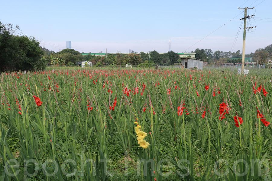 元朗花農梁日信表示,今年天公造美,花大部份豐收,花期早了三個星期。(陳仲明/大紀元)
