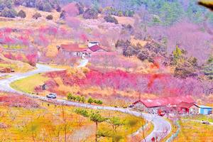 櫻花燦爛綻放 台灣武陵農場花季開跑