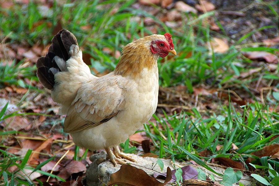 比爾蓋茨的捐雞計劃受到挫折,玻利維亞政府今天拒絕比爾蓋茨這項捐雞計劃。(王嘉益/大紀元)