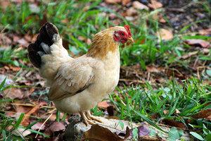 玻利維亞不領情 比爾蓋茨捐雞計劃受挫