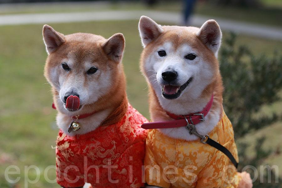 盧先生每年都在年初一早上,帶同兩隻柴犬到大埔林村許願樹。圖為盧先生的兩隻柴犬大紅、大紫。(陳仲明/大紀元)