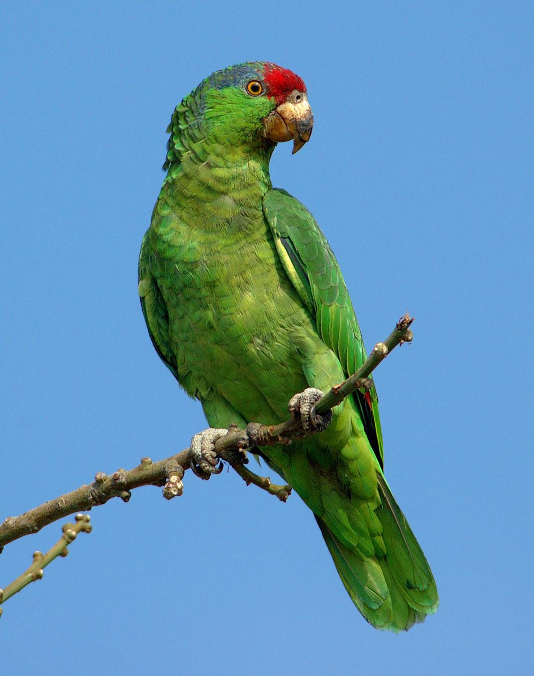 紅冠鸚鵡來自墨西哥東北部的塔毛利帕斯州,在那裏它們已經瀕臨滅絕。它們移居到南加州以來便在野外茁壯成長,現在已經被加州鳥類記錄委員會認定為當地的鳥類之一。 (維基百科)