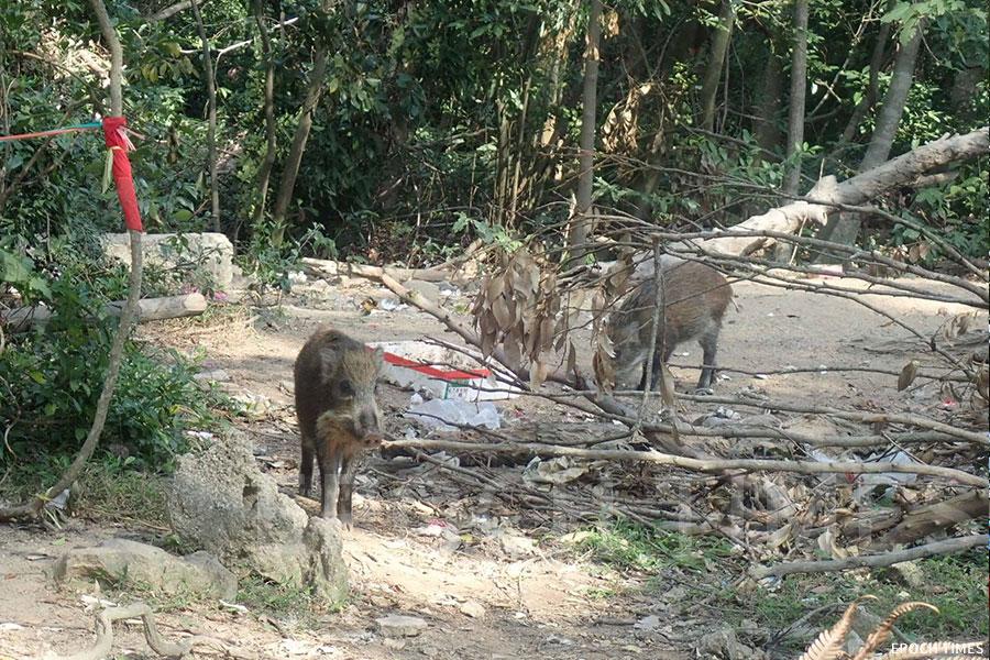 「清徑先鋒」第四分隊在行山執垃圾過程中發現有幾隻野豬正在吃膠袋。(受訪者提供)