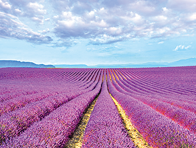 法國普羅旺斯6月份將展開的薰衣草季。