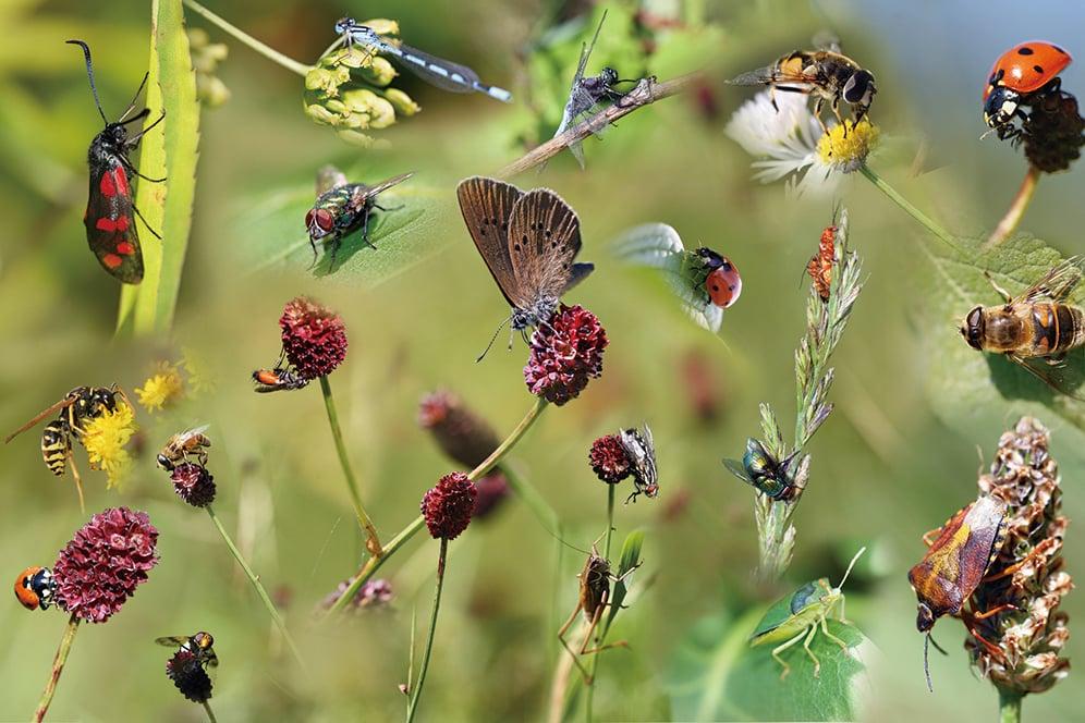 研究指出,全球昆蟲正急速邁向滅絕,密集農業是昆蟲減少的主因。(Shutter Stock)