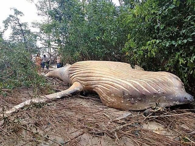 一條11米長的座頭鯨屍體出現在巴西境內的亞馬遜叢林裏,令人不解。(網路擷圖)