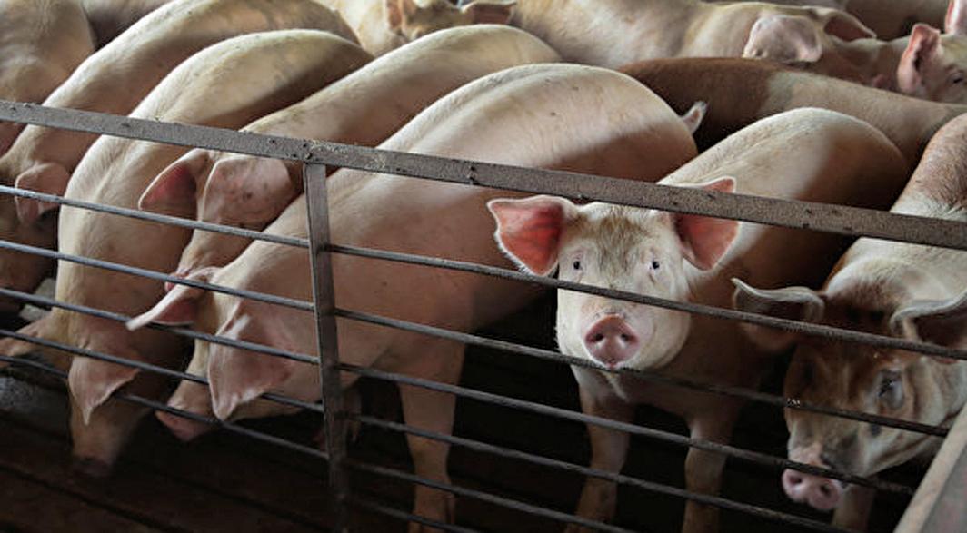 河北確認豬瘟疫情 引熱議