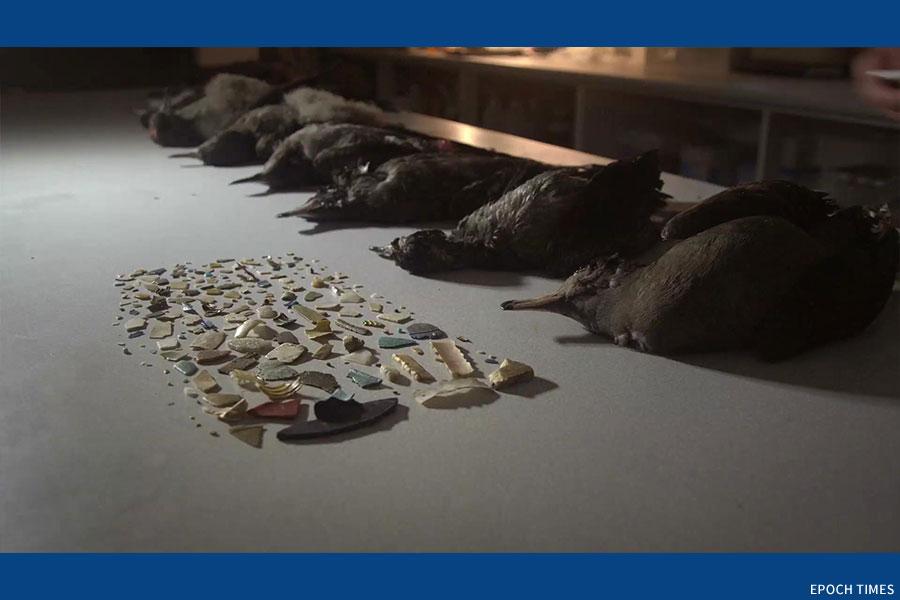 《塑膠海洋》劇照,在海鳥體中找到的塑膠碎片。(A Plastic Ocean Foundation提供)
