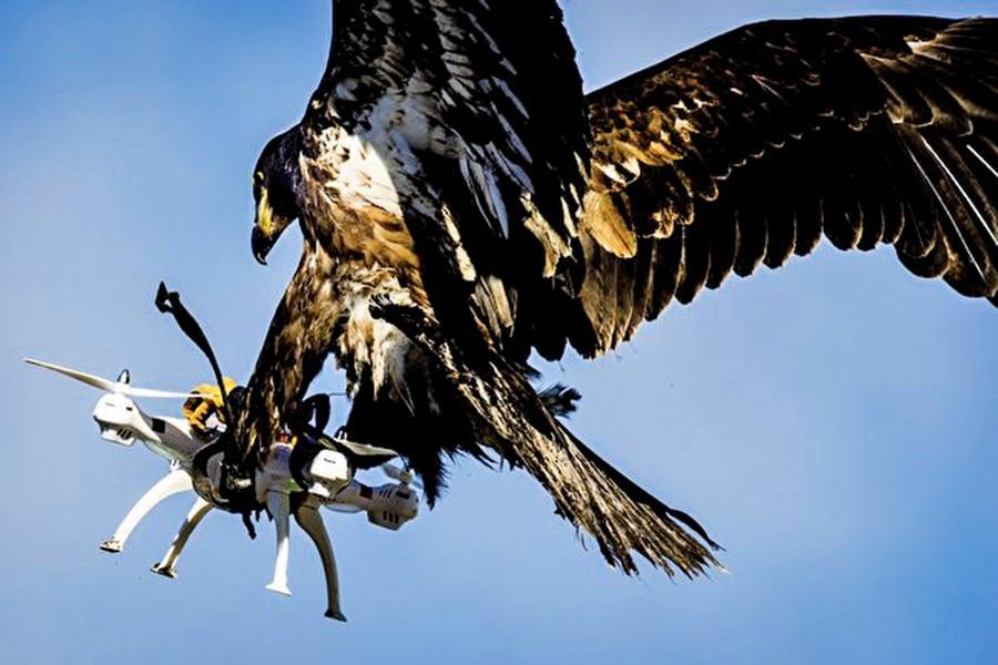 「大自然戰勝科技」老鷹抓無人機照片走紅