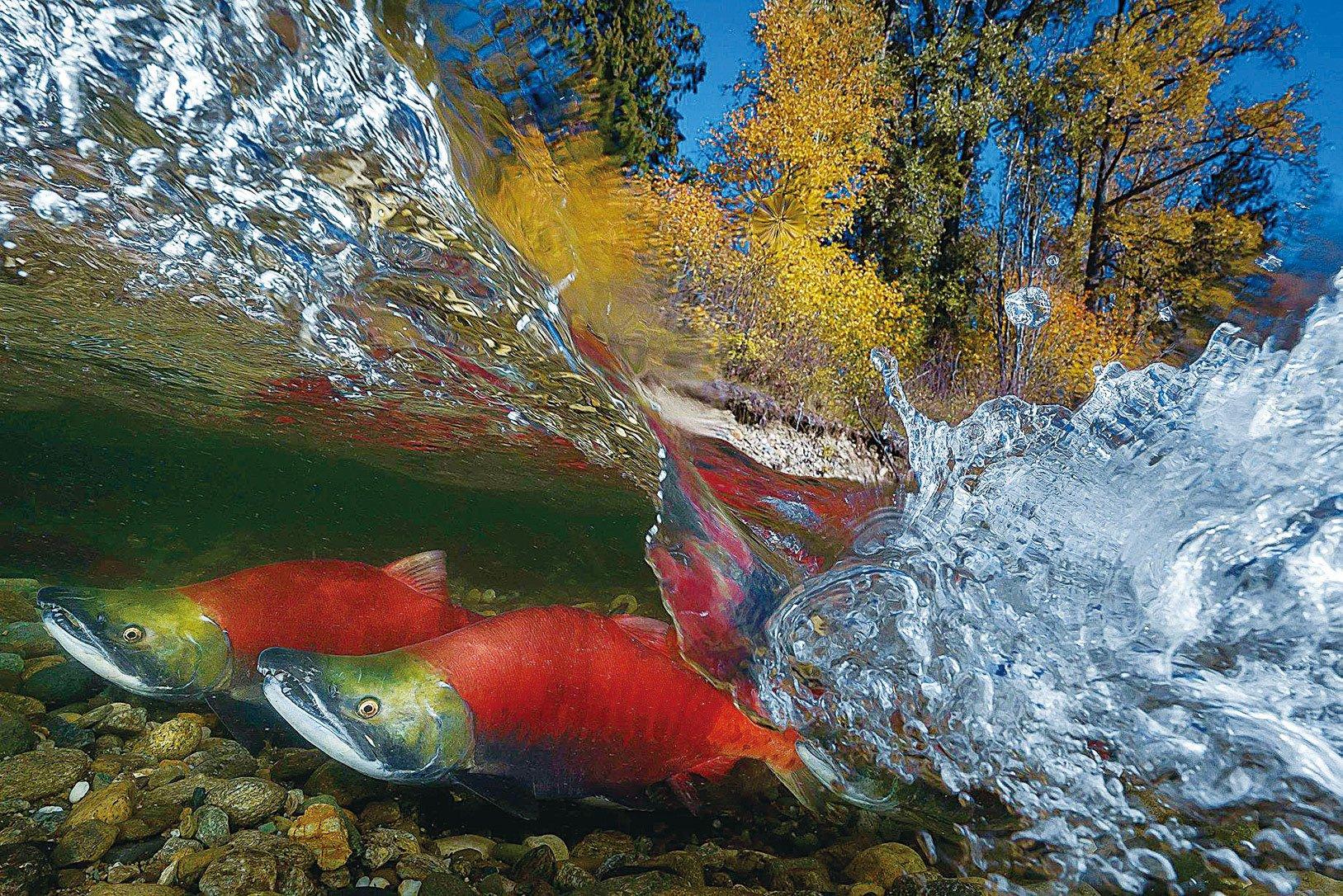 台灣攝影師吳永森拍攝的三文魚洄游作品,以其絕佳的拍攝角度,鮮明的色彩,在「國際水中攝影競賽World Shootout 」與「Sony世界攝影大獎賽」中連奪雙冠。(吳永森提供)