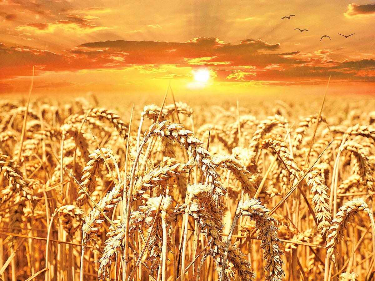 「低頭的是稻穗,昂頭的是稗子。」 (示意圖)(pixabay)