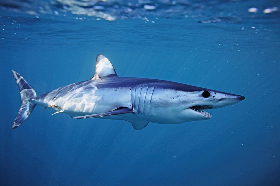 「海洋獵豹」灰鯖鯊世上游得最快的原因