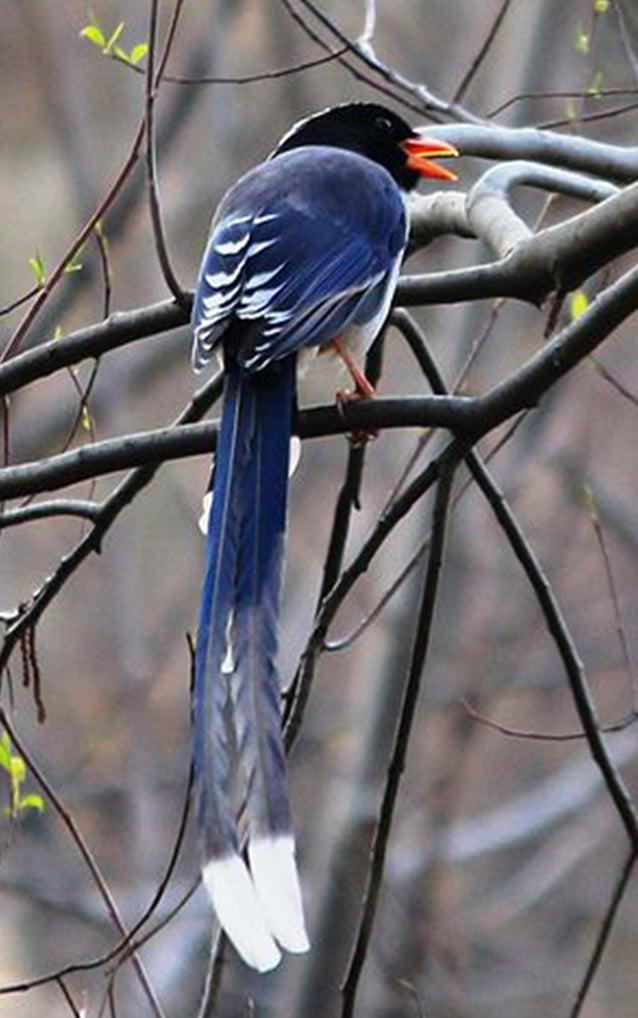 紅嘴藍鵲是公園出現過的最美麗的鳥。(Sunil Sharma/wikipedia)