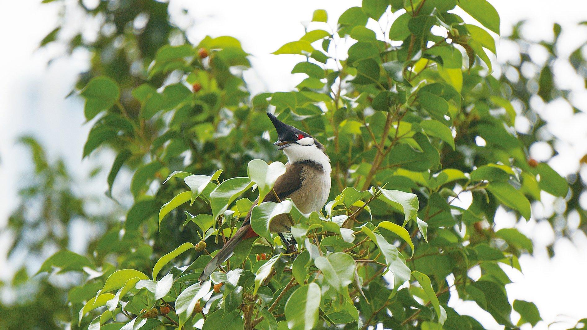 紅耳鵯因頭上有冠也被稱為GEL頭雀。牠們的性格活潑,不怕人,在香港隨處可見。(泰然提供)