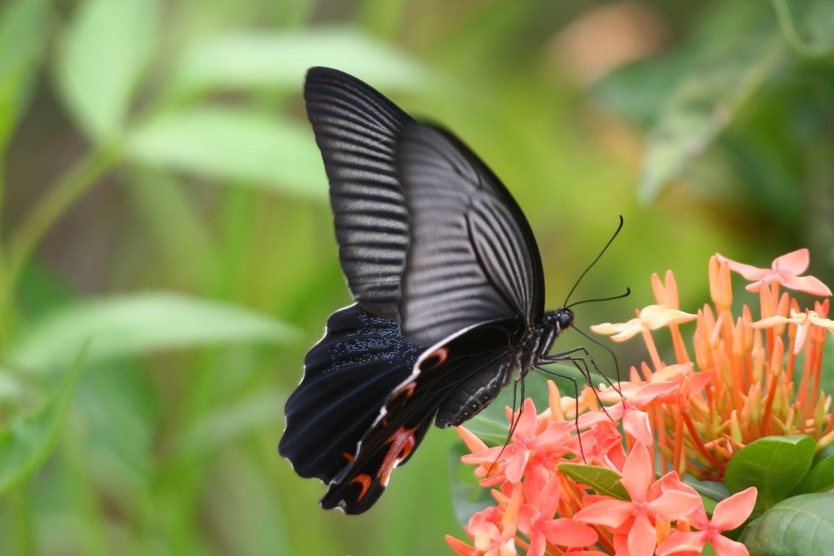 藍鳳蝶(綠色力量提供)