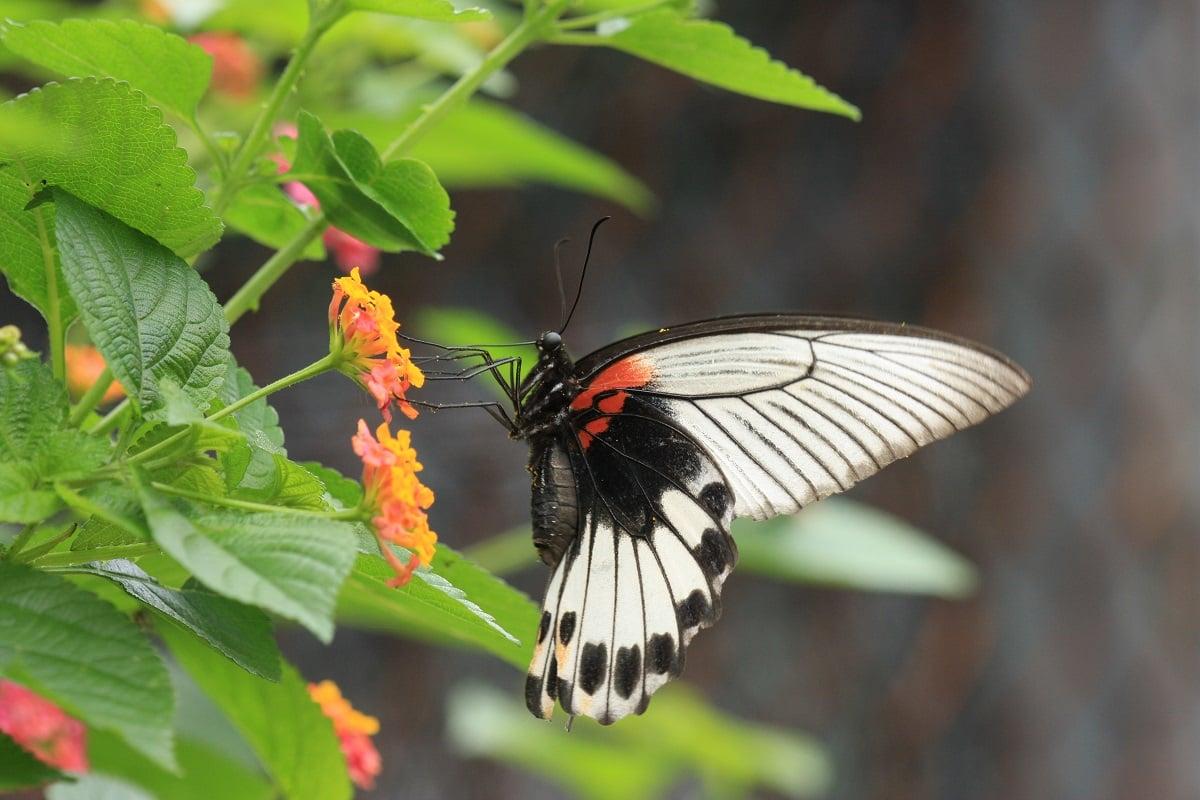 美鳳蝶(雌性)(綠色力量提供)
