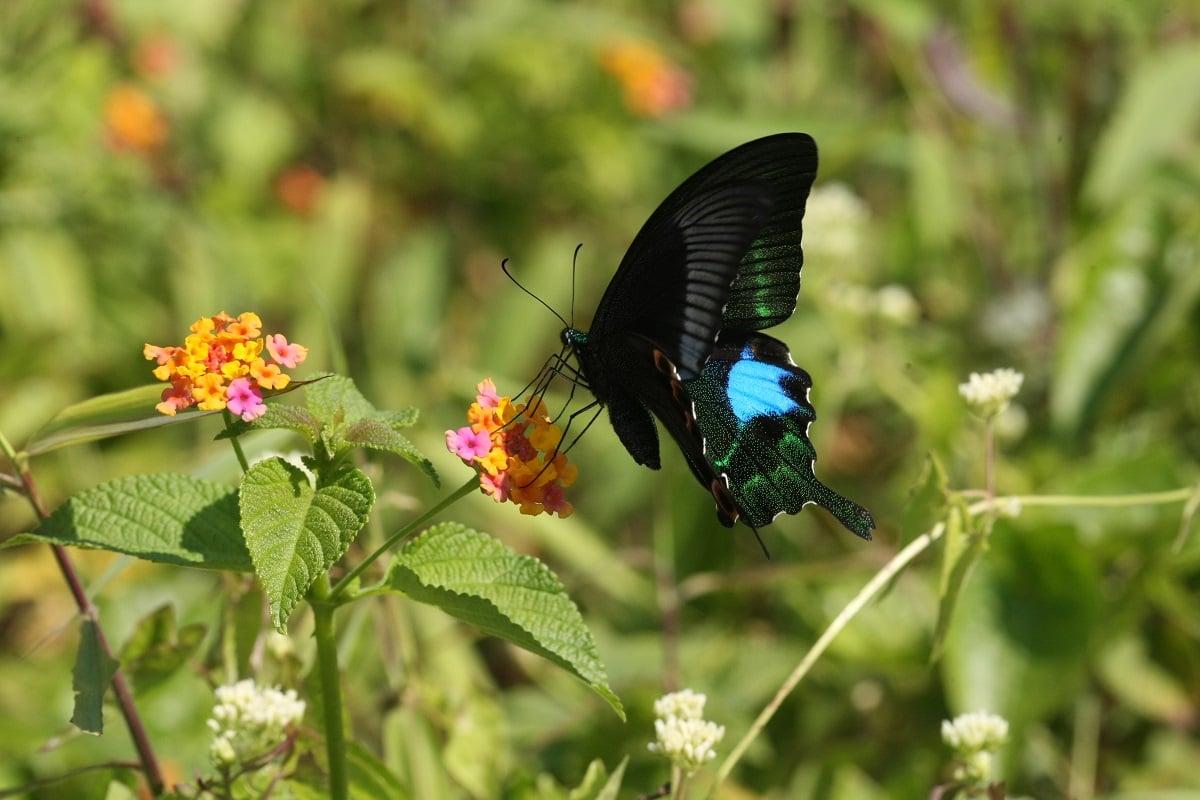 巴黎翠鳳蝶(綠色力量提供)