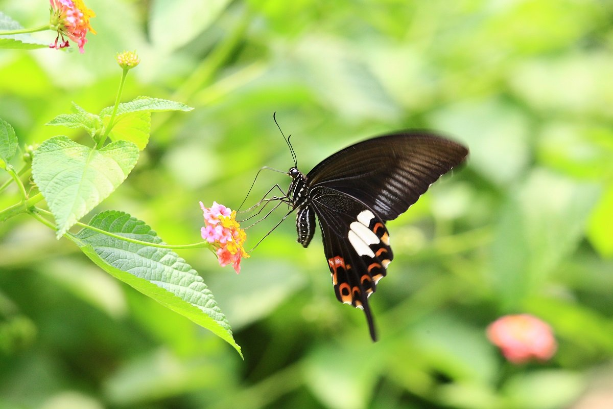 玉斑鳳蝶(綠色力量提供)