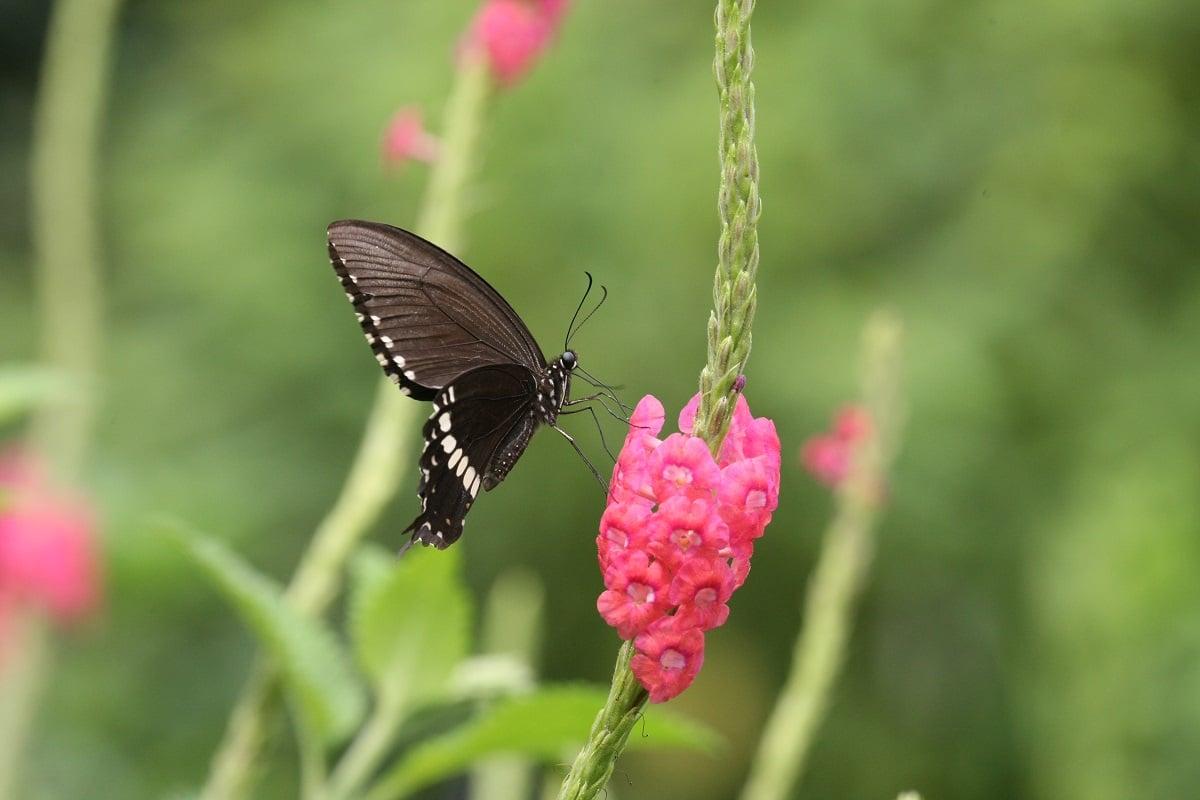玉帶鳳蝶(綠色力量提供)
