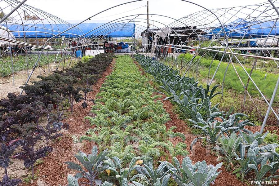 歐羅有機農場中生長茂盛的各類羽衣甘藍。(陳仲明/大紀元)