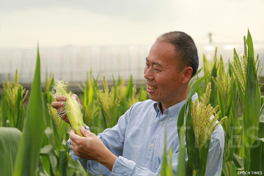 歐羅有機農場種植的粟米。(陳仲明/大紀元)