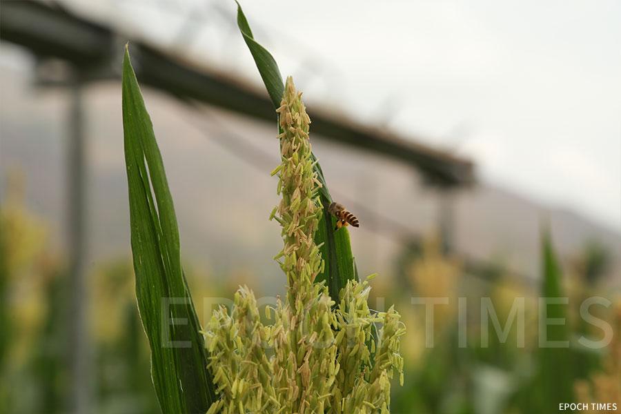 歐羅有機農場中的粟米,吸引了蜜蜂採蜜。(陳仲明/大紀元)